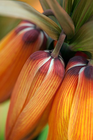 JACQUES_AMAND_CLOSE_UP_OF_FRITILLARIA_IMPERIALIS_SUNSET__CROWN_IMPERIAL_BULB_SPRING