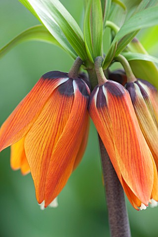 JACQUES_AMAND_CLOSE_UP_OF_FRITILLARIA_IMPERIALIS_ORANGE_BRILLIANT__CROWN_IMPERIAL_BULB_SPRING