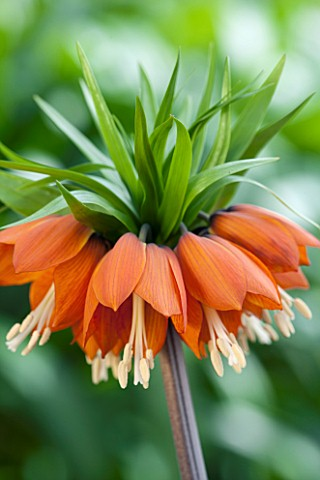 JACQUES_AMAND_CLOSE_UP_OF_FRITILLARIA_IMPERIALIS_RUBRA__CROWN_IMPERIAL_BULB_SPRING