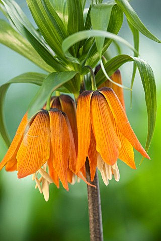 JACQUES_AMAND_CLOSE_UP_OF_FRITILLARIA_IMPERIALIS_PROLIFERA_SYN_CROWN_ON_CROWN___CROWN_IMPERIAL_BULB_