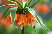 JACQUES AMAND: CLOSE UP OF FRITILLARIA IMPERIALIS INODORA PURPLUREA - CROWN IMPERIAL, BULB, SPRING