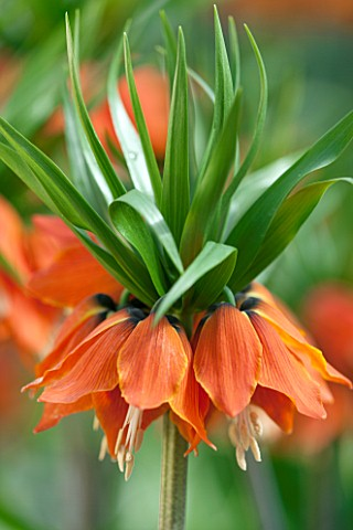 JACQUES_AMAND_CLOSE_UP_OF_FRITILLARIA_IMPERIALIS_SLAGWZAARD___CROWN_IMPERIAL_BULB_SPRING