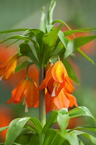JACQUES_AMAND_CLOSE_UP_OF_FRITILLARIA_IMPERIALIS_EDUARDII__CROWN_IMPERIAL_BULB_SPRING