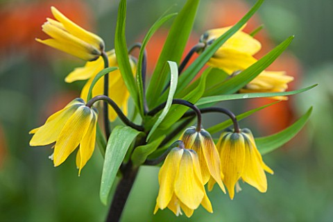 JACQUES_AMAND_CLOSE_UP_OF_FRITILLARIA_IMPERIALIS_YELLOW_EARLY_PASSION__CROWN_IMPERIAL_BULB_SPRING