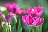 RHS GARDEN , WISLEY, SURREY: CLOSE UP OF TULIP - TULIPA ROYAL ACRES - SPRING, BULB