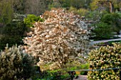 RHS GARDEN , WISLEY, SURREY: VIEW OF THE ROCK GARDEN IN SPRING WITH FLOWERING AMELANCHIER LAMARCKII - EVENING LIGHT - SPRING, BLOSSOM