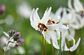 SPINNERS GARDEN AND NURSERY, HAMPSHIRE: CLOSE UP PLANT PORTRAIT OF THE WHITE FLOWERS OF ERYTHRONIUM HENDERSONII. DOGS, TOOTH, VIOLET, APRIL, SPRING