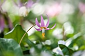 SPINNERS GARDEN AND NURSERY, HAMPSHIRE: CLOSE UP OF PLANT PORTRAIT OF THE PINK FLOWERS OF ERYTHRONIUM REVOLUTUM. DOGS TOOTH VIOLET, SPRING, APRIL