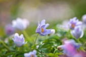 SPINNERS GARDEN AND NURSERY, HAMPSHIRE: CLOSE UP OF PLANT PORTRAIT OF THE BLUE FLOWERS OF ANEMONE NEMEROSA ROBINSIANA, SPRING, APRIL, WOODLAND, SHADE, SHADY