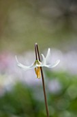 SPINNERS GARDEN AND NURSERY, HAMPSHIRE: CLOSE UP PLANT PORTRAIT OF THE FLOWER OF ERYTHRONIUM CALIFORNICUM WHITE BEAUTY, DOGS TOOTH VIOLET. SPRING, APRIL, PERENNIAL