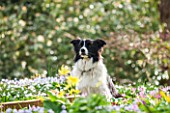 SPINNERS GARDEN AND NURSERY, HAMPSHIRE: MURPHY THE ROBERTS DOG, AMIDST A CARPET OF SPRING FLOWERS IN THE GARDEN. PET, ANIMAL, WOODLAND, SHADE