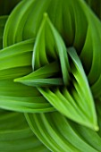 SPINNERS GARDEN AND NURSERY, HAMPSHIRE: GREEN LEAVES OF VERATRUM NIGRUM - SPRING, FOLIAGE, PERENNIAL, AMERICAN, HELLEBORE, BRIGHT, STRIPES, PATTERN