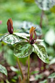 SPINNERS GARDEN AND NURSERY, HAMPSHIRE: CLOSE UP OF BROWN, ORNAGE FLOWERS OF TRILLIUM CUNEATUM - SPRING, WAKE ROBIN, WOOD LILY, BULB