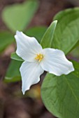 SPINNERS GARDEN AND NURSERY, HAMPSHIRE: CLOSE UP PLANT PORTRAIT OF THE WHITE FLOWER OF TRILLIUM GRANDIFLORUM. FLOWERS, YELLOW, SPRING, WOODLAND, SHADE, SHADY