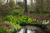 SPINNERS GARDEN AND NURSERY, HAMPSHIRE: BOG GARDEN. POND, POOL, WATER WITH CALTHA PALUSTRIS, LYSICHITON CAMTSCHATCENSIS AND AMERICANUS, ASIAN, SKUNK, CABBAGE, WHITE, SPATHES