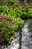 SPINNERS GARDEN AND NURSERY, HAMPSHIRE: BOG GARDEN. POND, POOL, WATER WITH CALTHA PALUSTRIS, LYSICHITON AMERICANUS, ASIAN, SKUNK, CABBAGE, WHITE, SPATHES