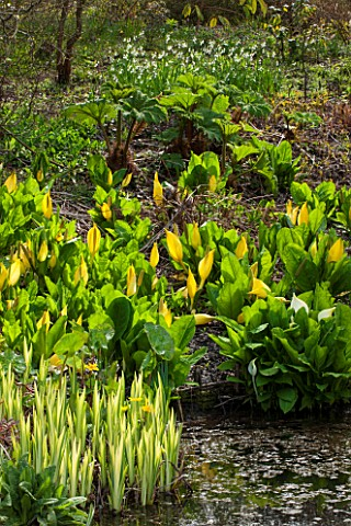 SPINNERS_GARDEN_AND_NURSERY_HAMPSHIRE_BOG_GARDEN_POND_POOL_WATER_WITH_LYSICHITON_CAMTSCHATCENSIS_AND