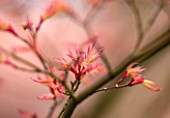 SPINNERS GARDEN AND NURSERY, HAMPSHIRE: YOUNG PINK SPRING LEAVES OF AN ACER IN EARLY SPRING. TREE, NEW, GROWTH, UNFURLING, MAPLE