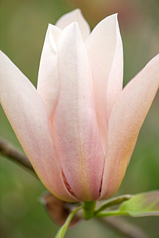 RHS_GARDEN_WISLEY_SURREY_CLOSE_UP_OF_THE_MAGNOLIA_ACUMINATA_X_MAGNOLIA_VEITCHII__BLOSSOM_SPRING_SHRU