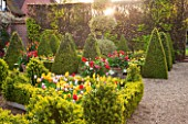 EAST RUSTON OLD VICARAGE GARDEN, NORFOLK: DUTCH GARDEN WITH CLIPPED BOX, TULIPS AND GOLDEN KING HOLLY - ILEX X ALTACLEREMSIS GOLDEN KING. SPRING, MAY, PARTERRE, TOPIARY, TRIMMED
