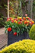 EAST RUSTON OLD VICARAGE GARDEN, NORFOLK: LEAD CONTAINER IN THE DUTCH GARDEN PLANTED WITH ORANGE TULIPS. SPRING. MAY, FLOWERS, HOT, BRIGHT, PATIO