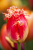 EAST RUSTON OLD VICARAGE GARDEN, NORFOLK: CLOSE UP OF THE ORANGE TULIP - TULIPA REAL TIME - RED, FRINGED, SPRING, FLOWER, BRIGHT, BULB, BULBS, FLOWERS