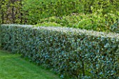 EAST RUSTON OLD VICARAGE GARDEN, NORFOLK: HOLLY HEDGE - HEDGING, TRIMMED, CLIPPED, SPRING, COUNTRY GARDEN