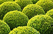 EAST RUSTON OLD VICARAGE GARDEN, NORFOLK: CLIPPED TOPIARY BOX BALLS - HEDGE, HEDGING, GREEN, TRIMMED, SHRUB, EVERGREEN, SHAPED, SHAPE