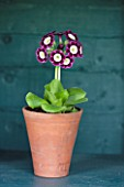 POPS PLANTS AURICULAS, HAMPSHIRE: AURICULA IN THE AURICULA THEATRE - AURICULA JESSIE HOLLAND
