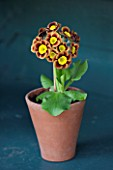 POPS PLANTS AURICULAS, HAMPSHIRE: AURICULA IN THE AURICULA THEATRE - AURICULA VEGA