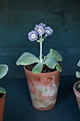 POPS PLANTS AURICULAS, HAMPSHIRE: AURICULA IN THE AURICULA THEATRE - AURICULA MARRY ME