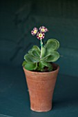 POPS PLANTS AURICULAS, HAMPSHIRE: AURICULA IN THE AURICULA THEATRE - AURICULA RED WIRE - SHOW AURICULA