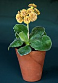 POPS PLANTS AURICULAS, HAMPSHIRE: AURICULA IN THE AURICULA THEATRE - AURICULA FRANCES