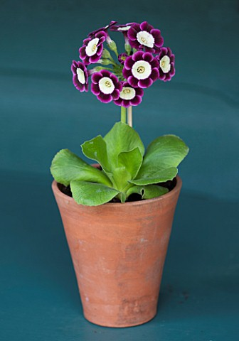POPS_PLANTS_AURICULAS_HAMPSHIRE_AURICULA_IN_THE_AURICULA_THEATRE__AURICULA_JESSIE_HOLLAND