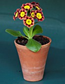 POPS PLANTS AURICULAS, HAMPSHIRE: AURICULA IN THE AURICULA THEATRE - AURICULA ANCIENT SOCIETY