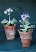 POPS PLANTS AURICULAS, HAMPSHIRE: AURICULAS IN THE AURICULA THEATRE