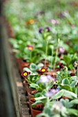 POPS PLANTS AURICULAS, HAMPSHIRE: AURICULAS GROWING IN SMALL CONTAINERS