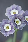 POPS PLANTS AURICULAS, HAMPSHIRE: CLOSE UP OF PRIMULA AURICULA