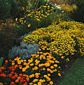 YELLOW BORDER: MARIGOLD AURORA FIRE (FRONT LEFT)  LARGE MOPHEAD MARIGOLDS SANTOLINA & TAGETES LEMON GEM. WATERPERRY GARDENS  OXON