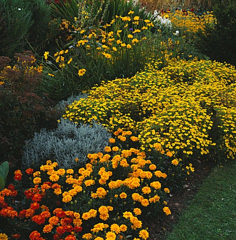 YELLOW_BORDER_MARIGOLD_AURORA_FIRE_FRONT_LEFT__LARGE_MOPHEAD_MARIGOLDS_SANTOLINA__TAGETES_LEMON_GEM_