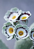 POPS PLANTS AURICULAS, HAMPSHIRE: CLOSE UP OF PRIMULA AURICULA SOLARIO