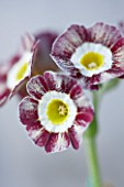 POPS PLANTS AURICULAS, HAMPSHIRE: CLOSE UP OF PRIMULA AURICULA RED WIRE