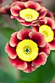 POPS PLANTS AURICULAS, HAMPSHIRE: CLOSE UP OF PRIMULA AURICULA ANCIENT SOCIETY