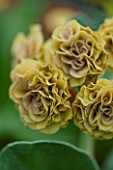 POPS PLANTS AURICULAS, HAMPSHIRE: CLOSE UP OF PRIMULA AURICULA FRANCES