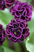 POPS PLANTS AURICULAS, HAMPSHIRE: CLOSE UP OF PRIMULA AURICULA BACCHANTE