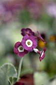 POPS PLANTS AURICULAS, HAMPSHIRE: CLOSE UP OF PRIMULA AURICULA ETON DAWN
