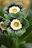 POPS PLANTS AURICULAS, HAMPSHIRE: CLOSE UP OF PRIMULA AURICULA EL FILO