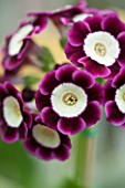 POPS PLANTS AURICULAS, HAMPSHIRE: CLOSE UP OF PRIMULA AURICULA JESSIE HOLLAND