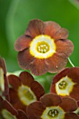 POPS PLANTS AURICULAS, HAMPSHIRE: CLOSE UP OF PRIMULA AURICULA BORDER PATROL