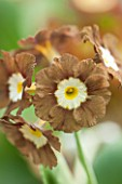 POPS PLANTS AURICULAS, HAMPSHIRE: CLOSE UP OF PRIMULA AURICULA EDEN GREENFINCH